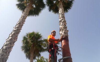 Altea sigue mejorando la imagen y salud de sus palmeras gracias a la poda en altura